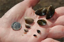 aquatic invasive species education quagga-mussel